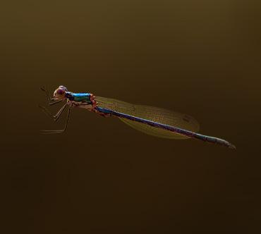 Характерными особенностями этих стрекоз, длина тела Лютка-невеста